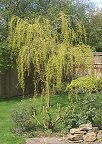 Baby Weeping Willow